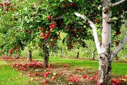 Как обрезать фруктовые деревья своими руками